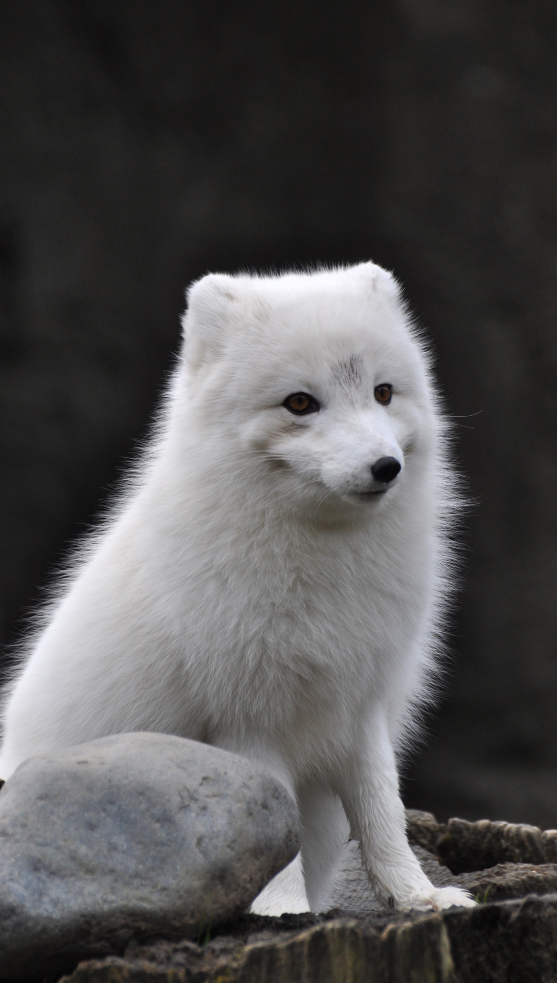 Arctic fox htc one wallpaper