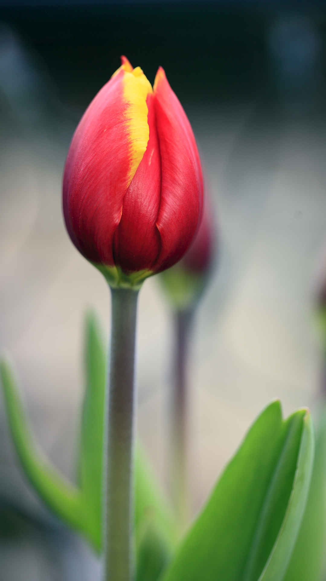 Red tulip htc wallpaper