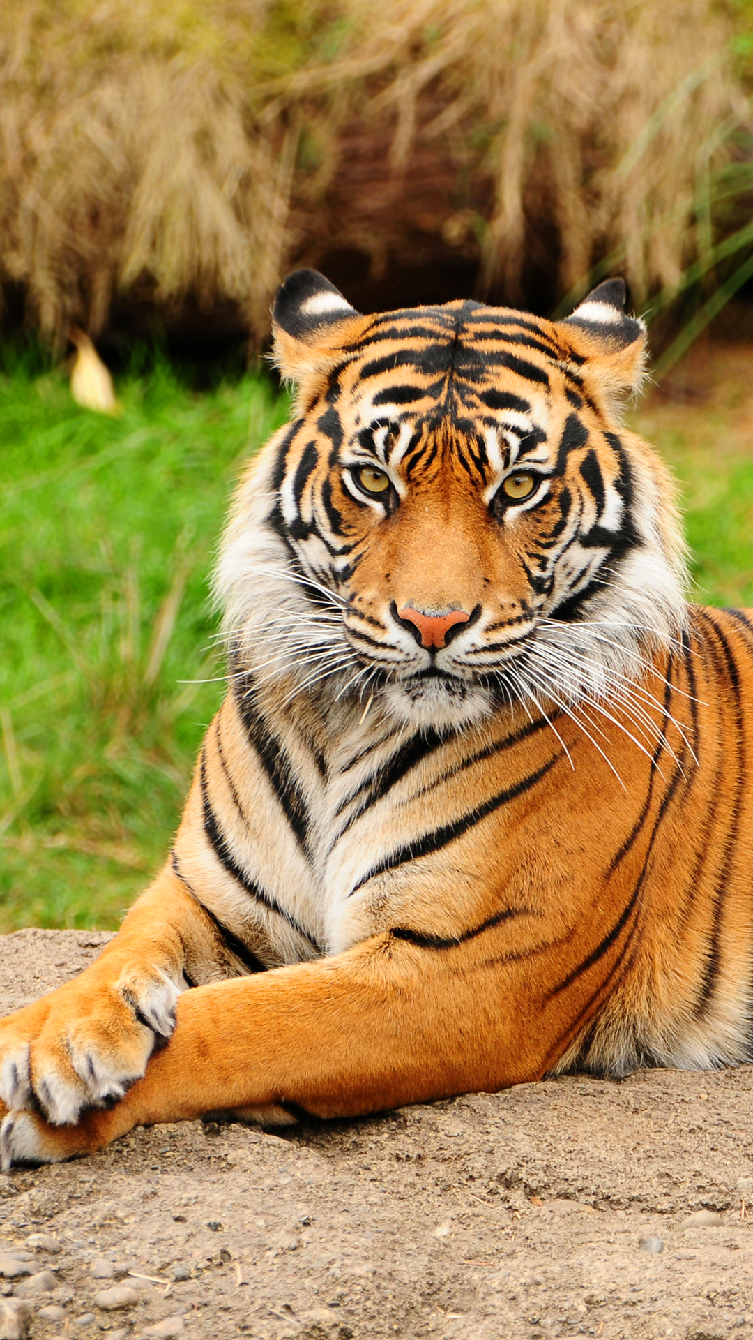 Best Wallpaper Mobile Tiger - tiger1  Perfect Image Reference_74882.jpg
