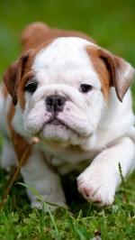 english bulldog puppy outdoors