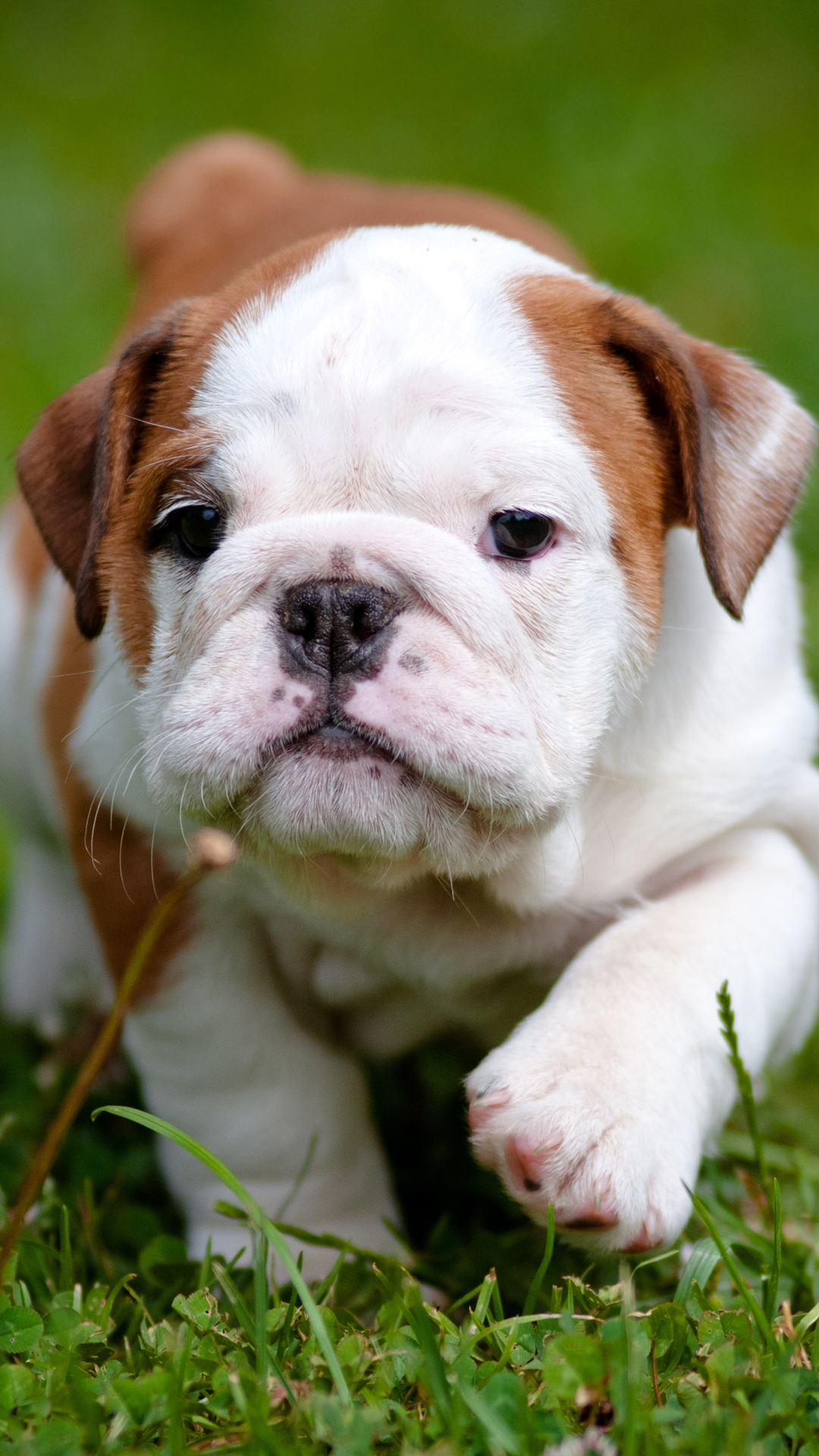 Bulldog puppy htc one wallpaper