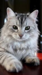 Cat htc one wallpaper