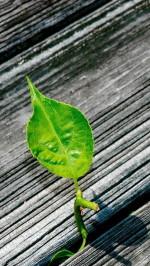 Green Leaf On The Wood