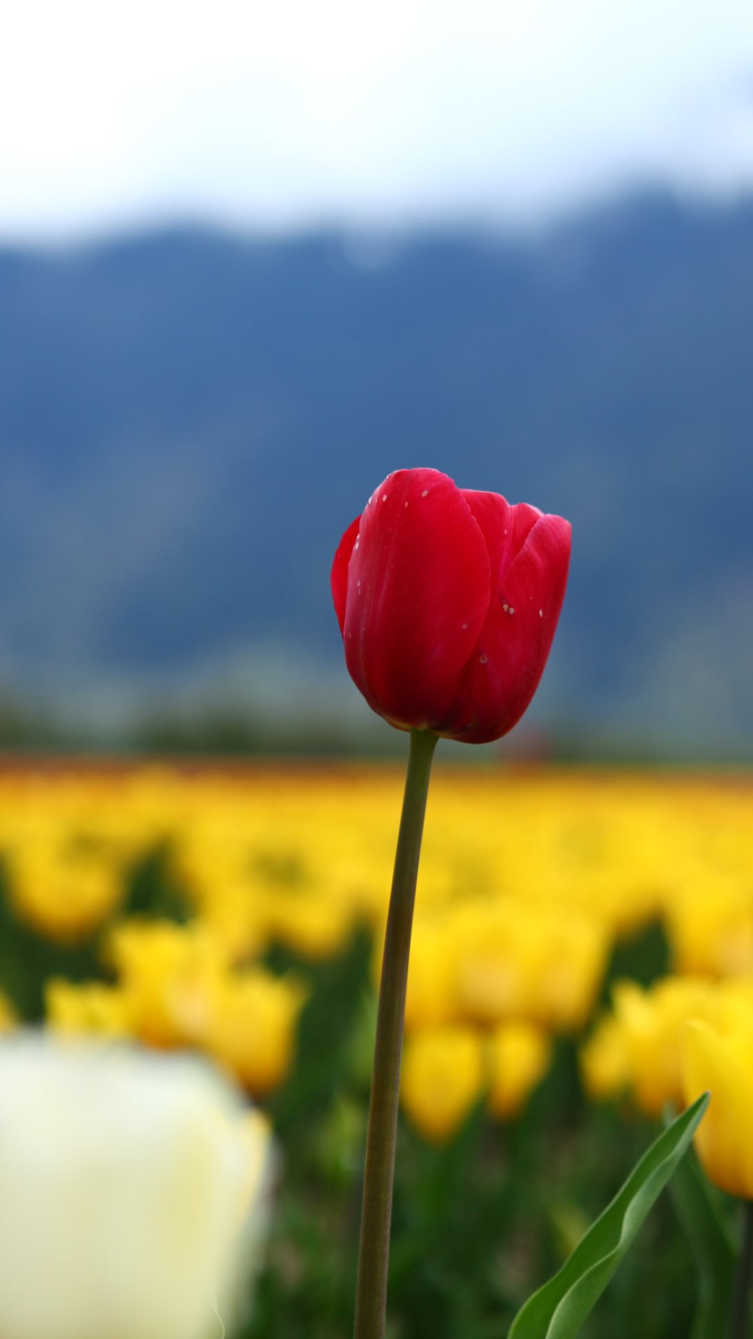 Red tulip htc one wallpaper