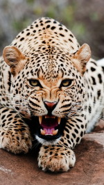 Roaring leopard htc one wallpaper
