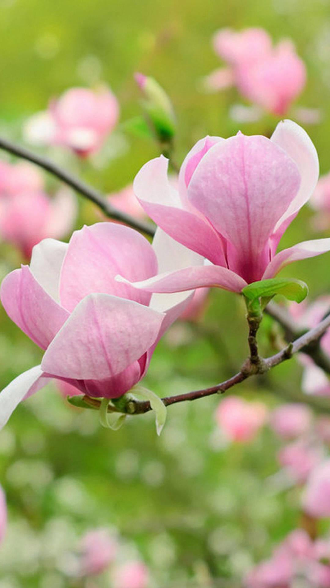 Pink magnolia htc one wallpaper