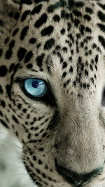 Snow Leopard Blue Eye