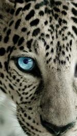 Snow Leopard Blue Eye