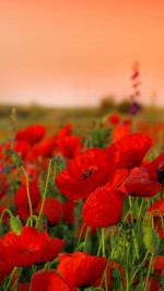 Poppies flowers field