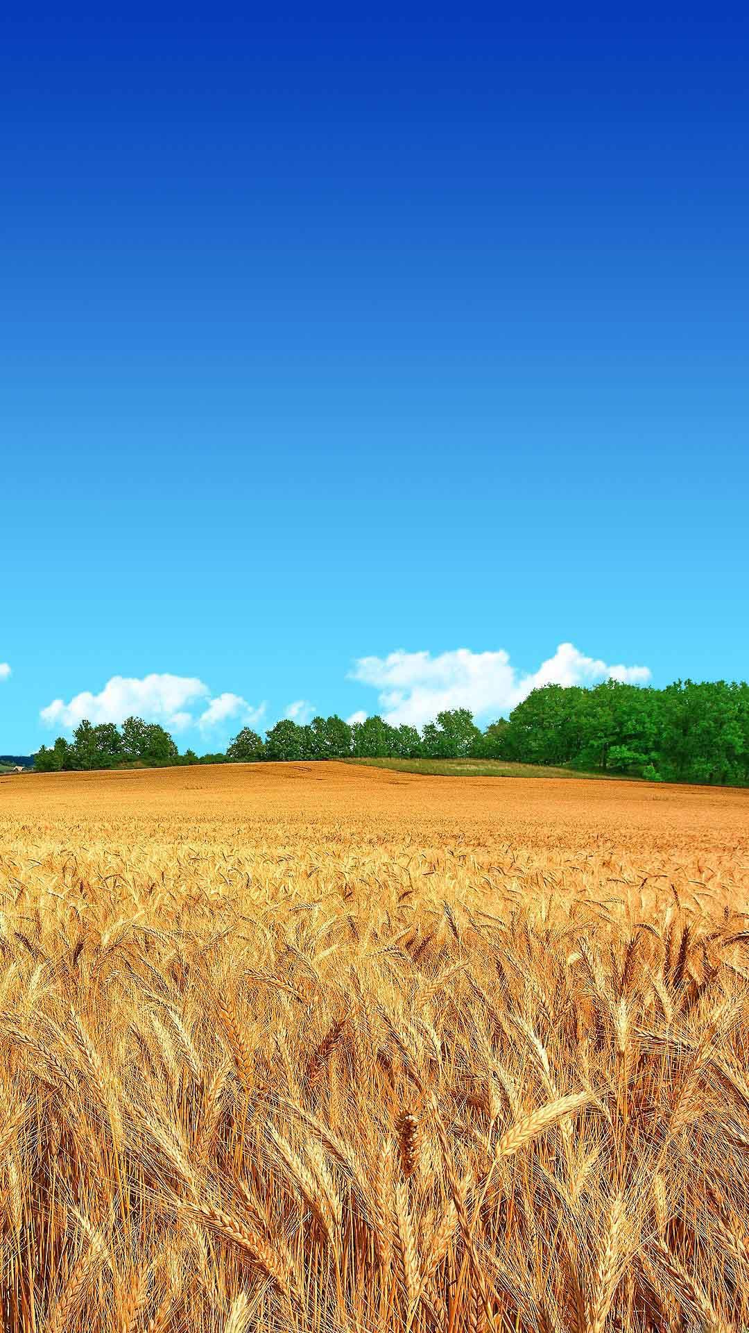 Wheat Field Clear Blue Sky Best Htc One Wallpapers