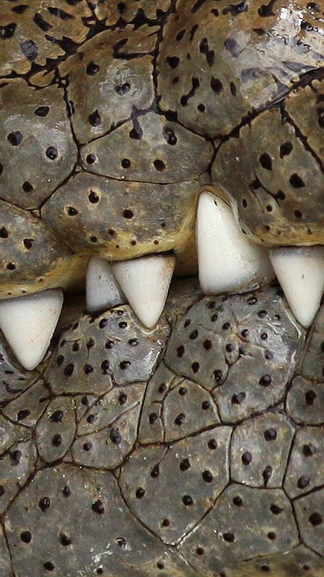 Crocodile teeths