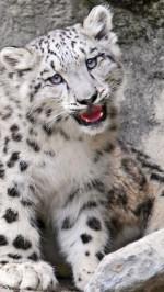 Snow leopard baby