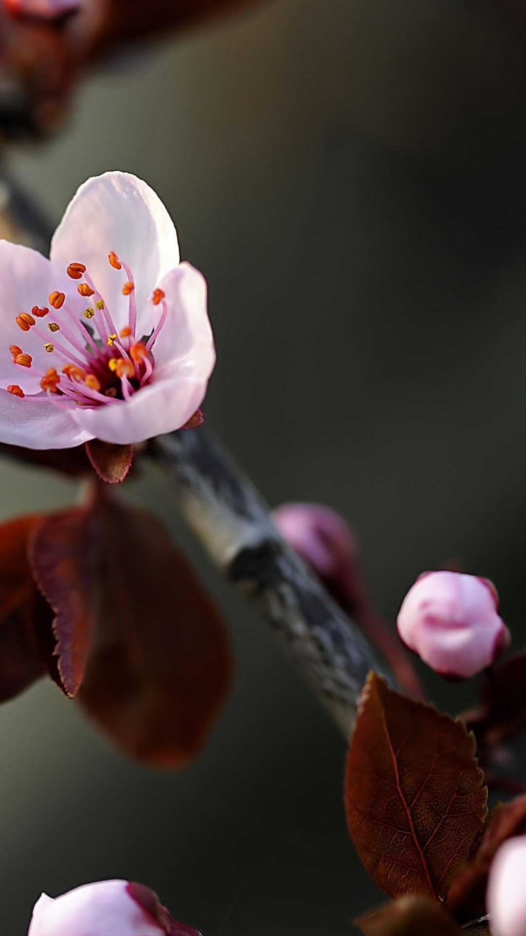 Macro Cherry Flower Bloom