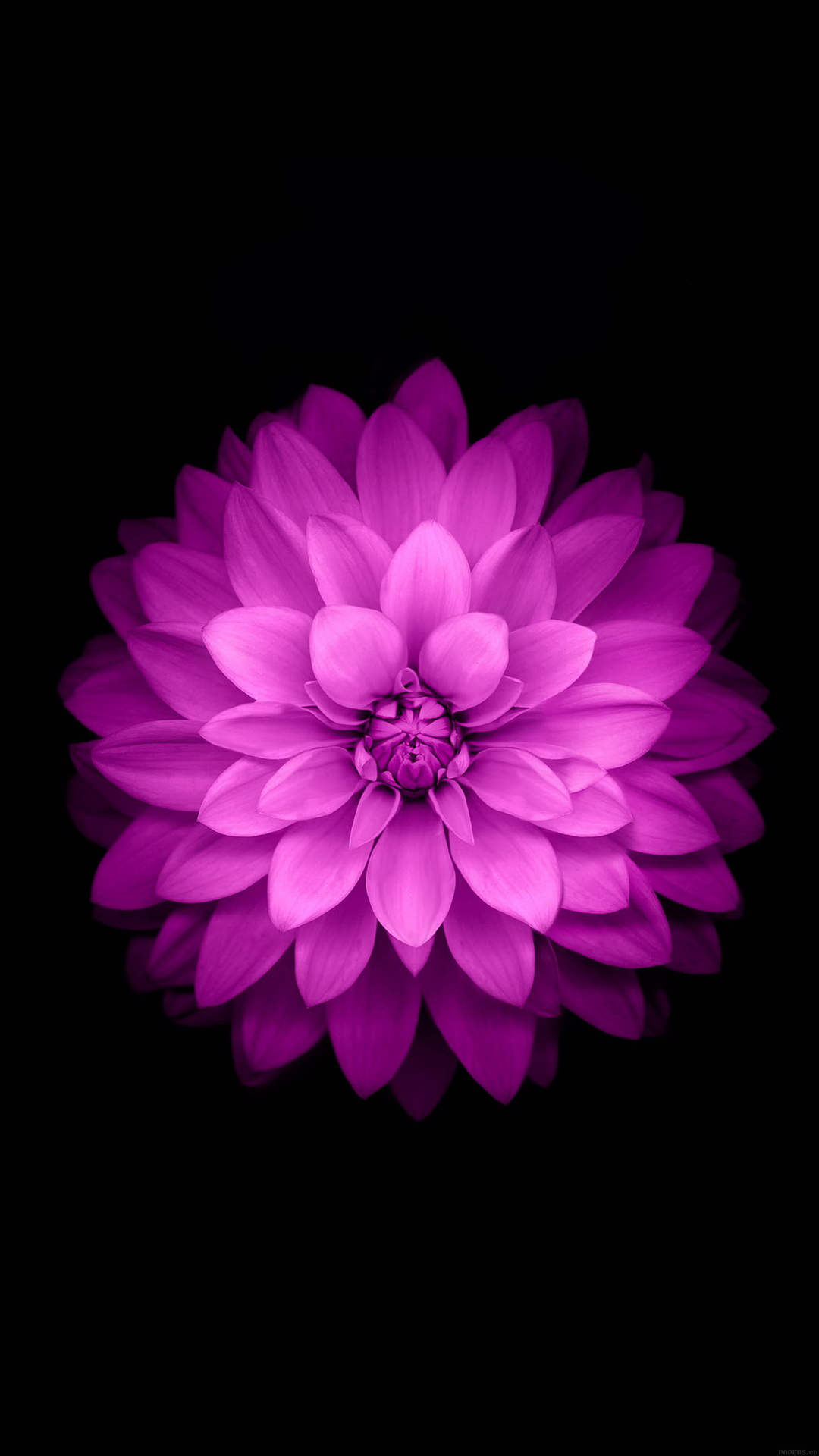 Purple Lotus Black Background