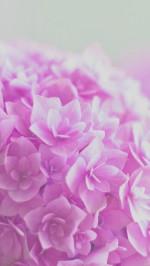 Pink hortensia flower