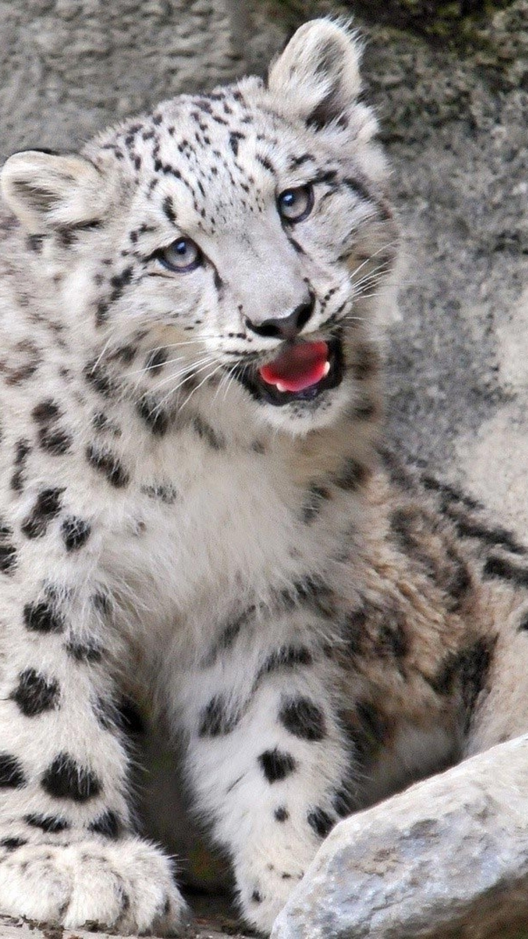 Snow leopard baby   4K wallpapers, free and easy to download